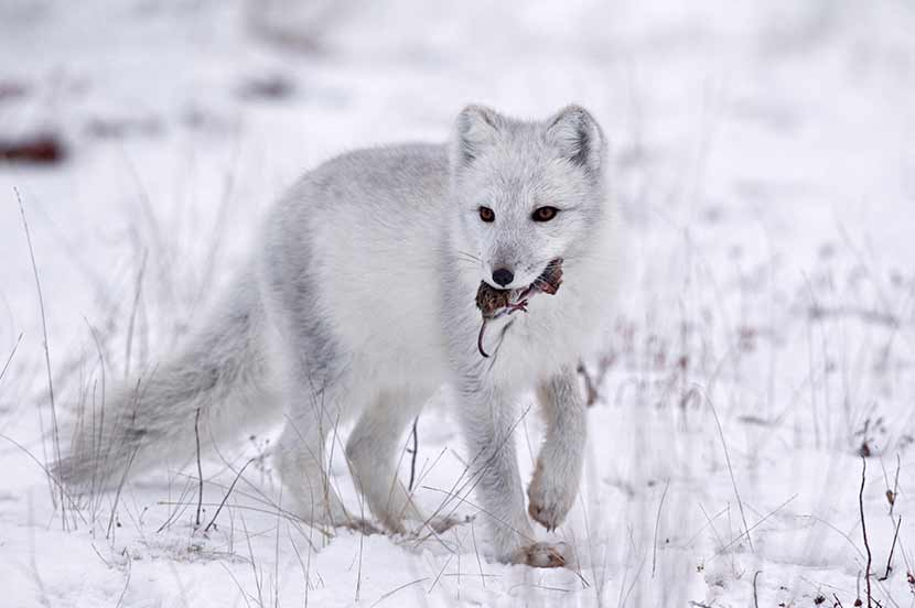What Food Does A Arctic Fox Eat